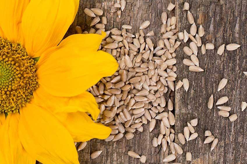 Sunflower and seeds around